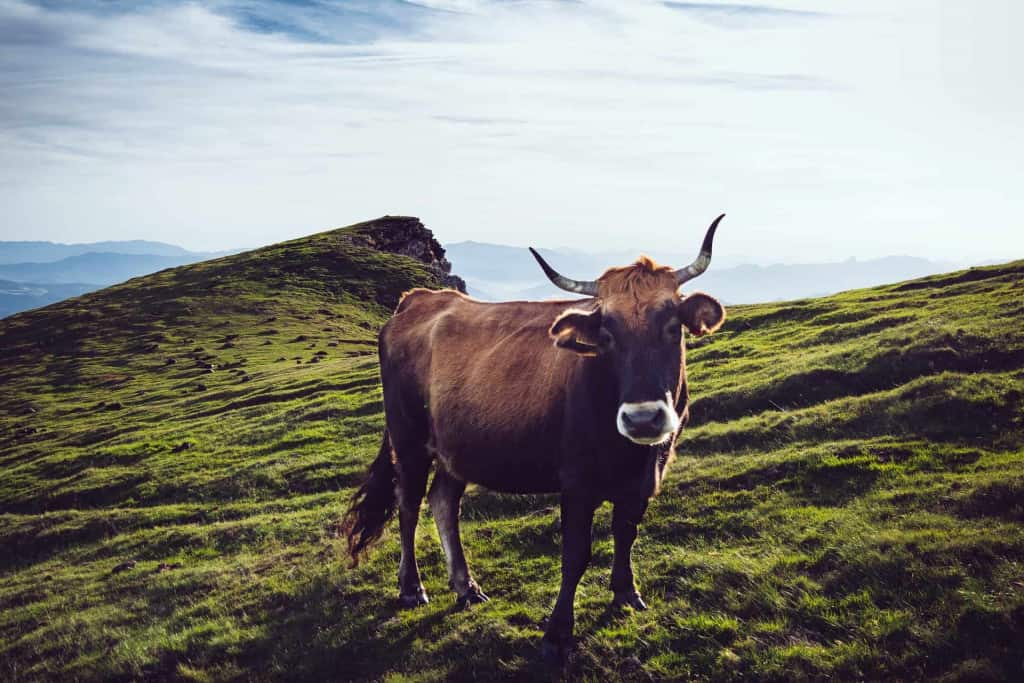 Cow in the Field - Liberty Leather Goods