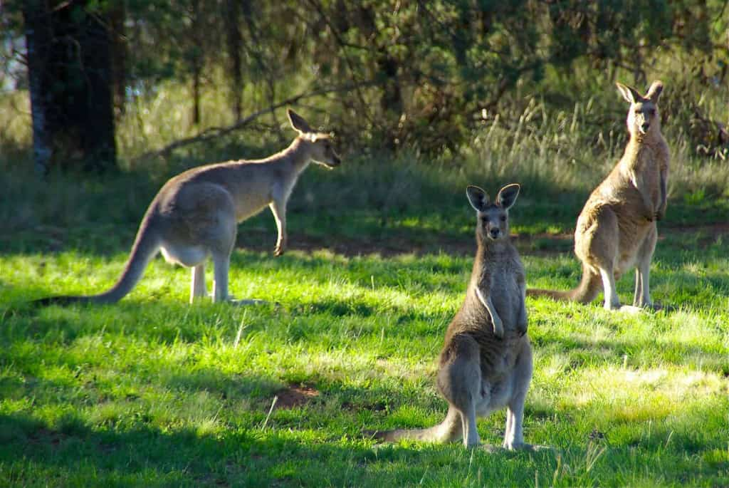Kangaroos in Nature - Kangaroo Leather - Liberty Leather Goods
