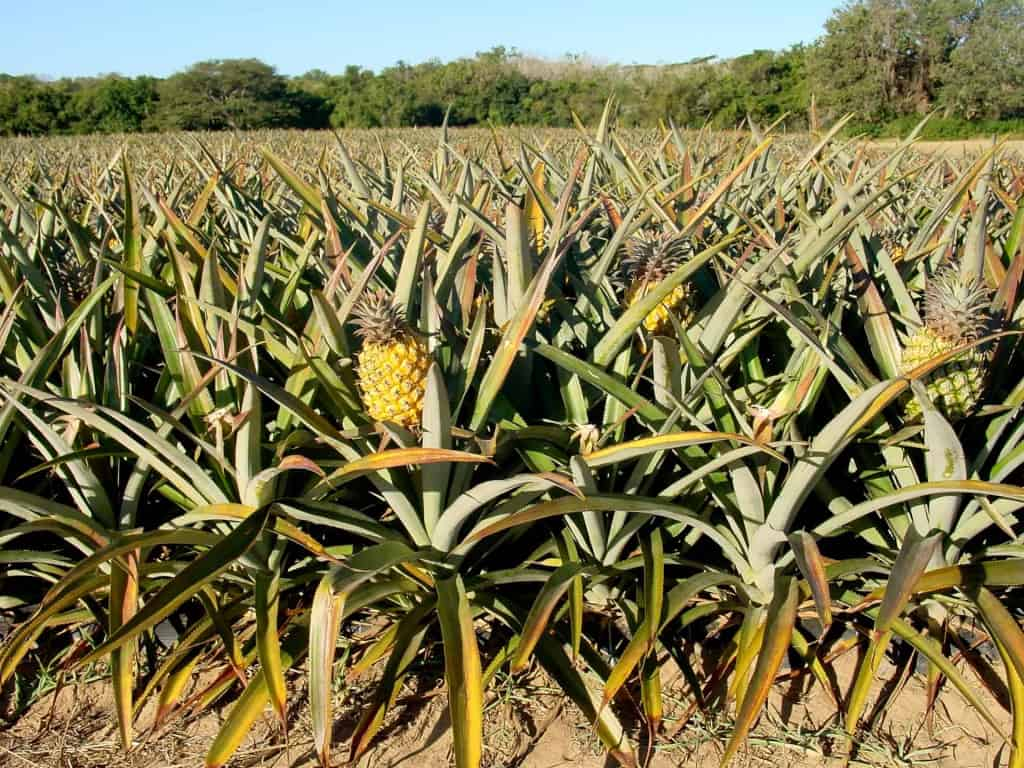 Pineapple Plantation - Pineapple Leather - Liberty Leather Goods