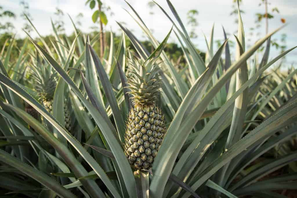 Pineapple in the Field - Pineapple Leather - Liberty Leather Goods