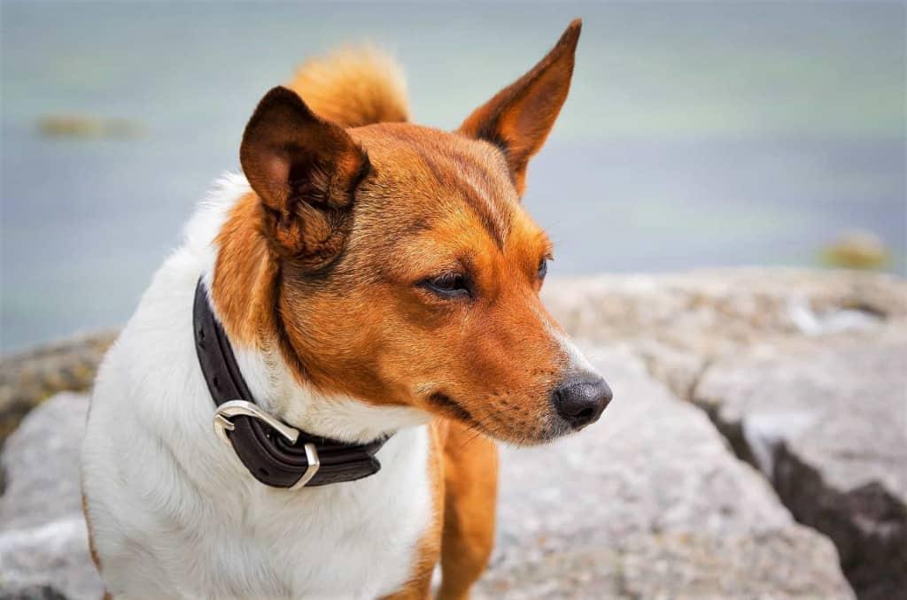 Dark Brown Leather Dog Collar - Liberty Leather Goods